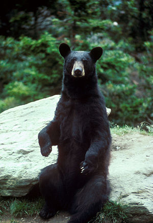 Ursus americanus English: A black bear standing (Photo credit: Wikipedia)