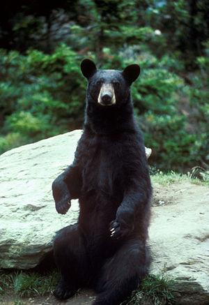 Ursus americanus English: A black bear standing (Photo credit: Wikipedia)