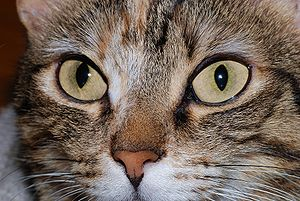 Detail of the head of a she-cat (Felis silvestris catus) (Photo credit: Wikipedia)