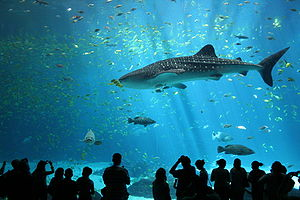 Picture taken at Georgia Aquarium, pictured is one of the two resident male whale sharks (Photo credit: Wikipedia)