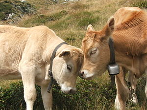 two cows (Photo credit: Wikipedia)