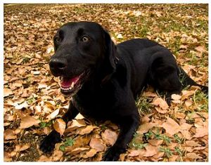 Labrador retriever (Photo credit: Wikipedia)