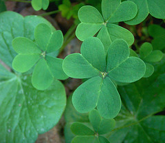 Oxalis Shamrocks, Two Kinds (Photo credit: cobalt123)