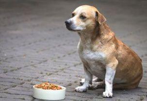 dog no appetite