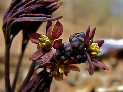 Supplementing with Black Cohosh