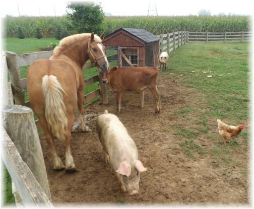 Amish barnyard animals