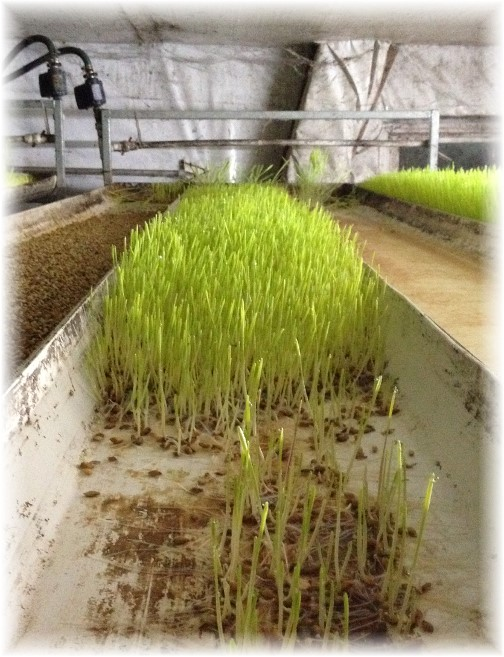 Barley sprouts grown as feed on Amish dairy farm