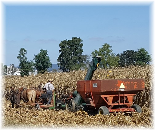 Amish corn harvest 10/6/16