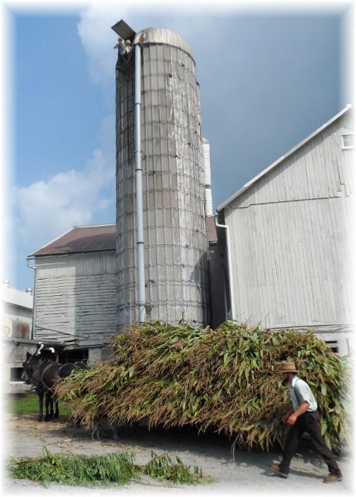 Harvesting corn silage on an Amish farm 8/29/13