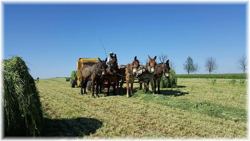 Mule team harvesting Alfalfa hay