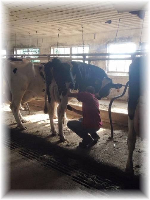 Nick milking on Amish farm 7/12/15