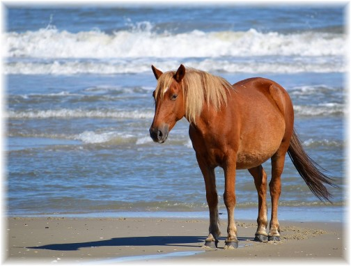 Horse on shore at Outer Banks, NC (Photo by Doug Maxwell) Click to enlarge