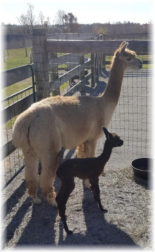 Eastland Alpaca farm 11/13/16