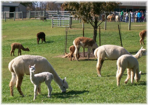 Alpaca Farm in Lancaster County PA