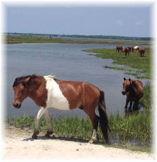 Assateague Island wild horses 6/8/15