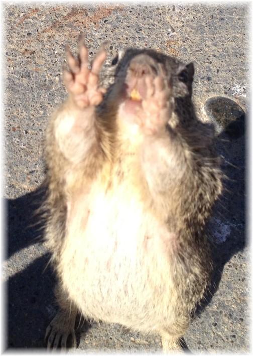 california_squirrel.jpg