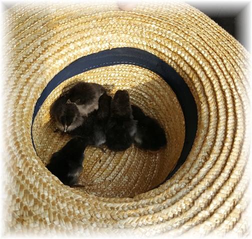 Chicks in straw hat 4/13/17