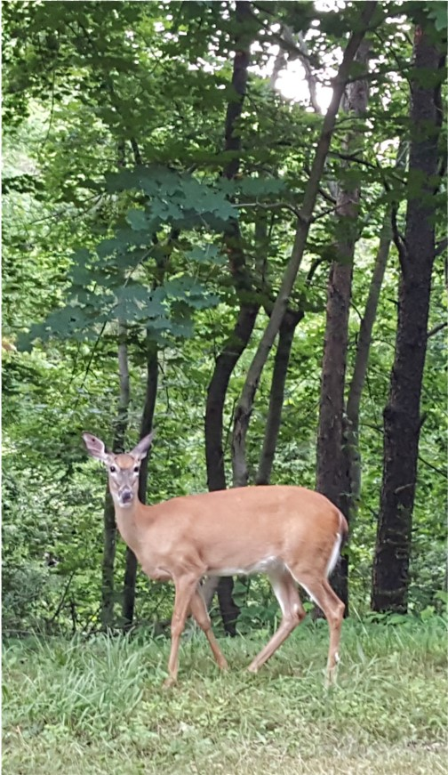 Deer in Cumberland County PA 6/7/16