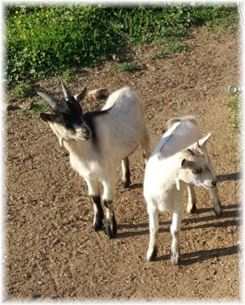 Goats on Old Windmill farm