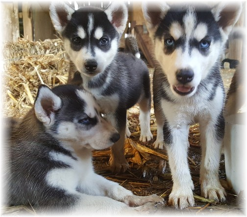 Huskie puppies 7/20/16