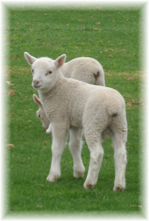 Lancaster County lambs 4/17/13