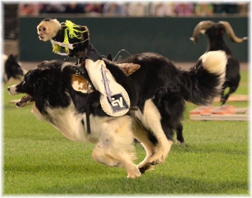 Cowboy monkey rodeo 7/26/14 (Photo by Ester)