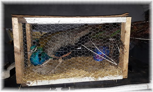 Peacock 4/28/17