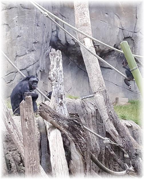 San Diego Zoo Gorillas 10/24/16