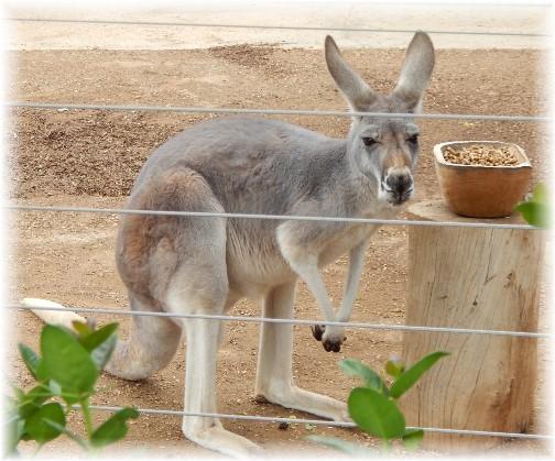 San Diego Zoo Kangaroo 10/24/16