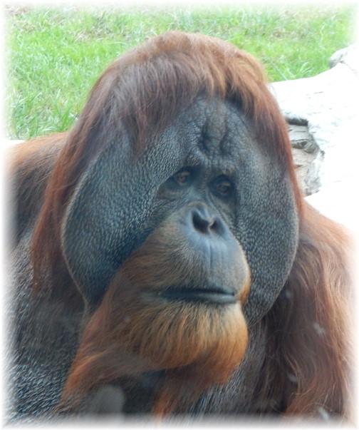 San Diego Zoo Orangutan 10/24/16