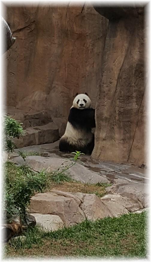 San Diego Zoo Panda 10/24/16