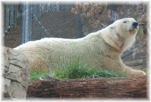 San Diego Zoo Polar Bear 10/24/16