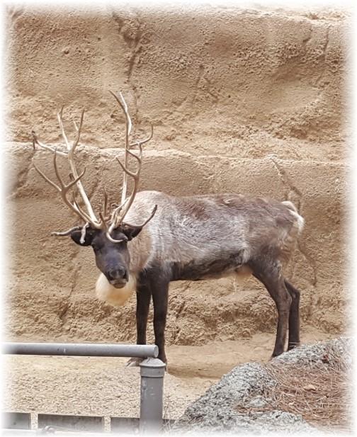 San Diego Zoo Siberian Reindeer 10/24/16