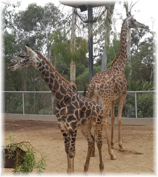 San Diego zoo giraffes 10/24/16