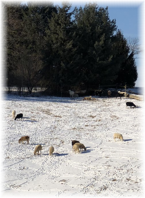 Sheep in snow, Grandview Road, Mount Joy 1/2/18