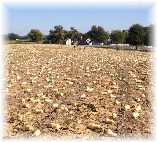 Butternut Squash harvest 9/27/14