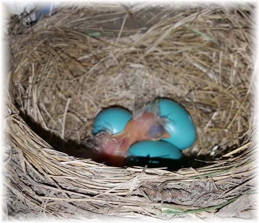 Baby Robin in nest 5/2/16