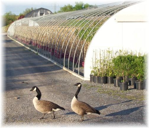 Geese at Eaton Farms tree farm 4/20/12