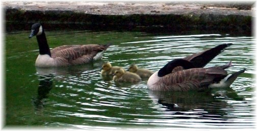Geese family in Donegal Springs 5/17/13 (Photo by Ester)