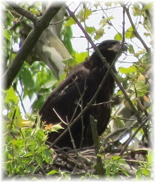 Lebanon County bald eagle 5/17 (Janice Martz)