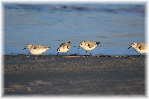 Sandpipers along Delaware shore (photo by Duke)