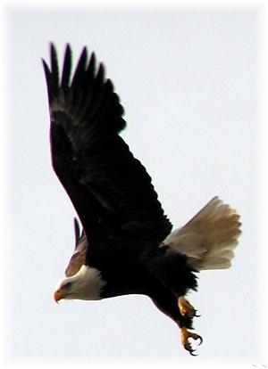 Soaring eagle along the Susquehanna