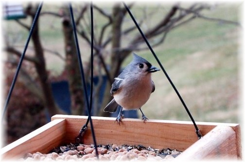 Tufted titmouse (Photo by Doris High)