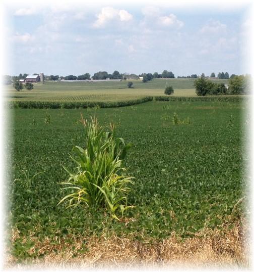 A Daniel in the soybean field