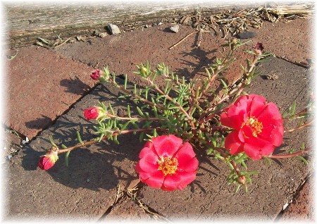 Portulaca growing in cracks between bricks