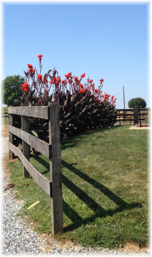 Red Cannas on Amish farm near New Holland, PA 9/4/14