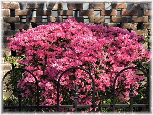 Savannah azaleas