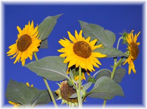 Sunflowers (photo by Doug Maxwell)