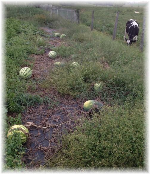 John Glick's watermelon patch