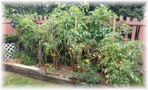 Tomato plants 8/14/17